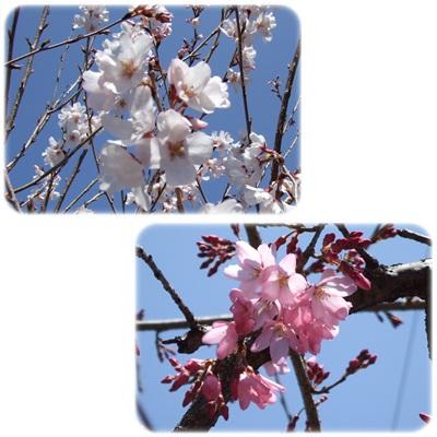 桜、咲き出したよっ♪ NO1