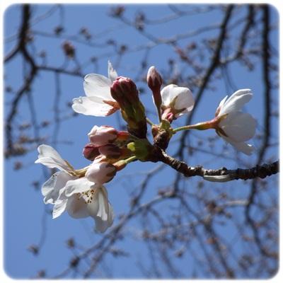 桜、咲き出したよっ♪ NO2