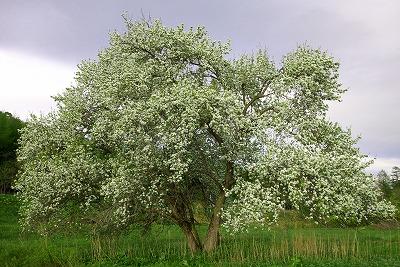 スモモの木