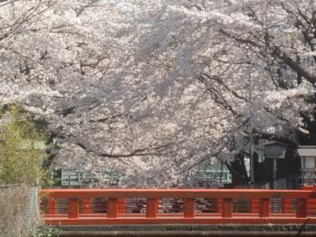 愛宕神社の桜