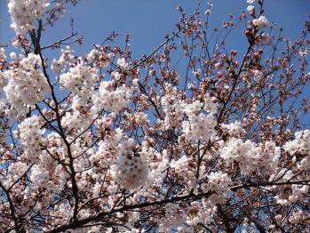 すみだ公園の桜