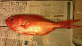 2012Aug金目鯛1