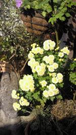 2012nov菊