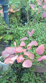 2012Novスモークツリーの紅葉