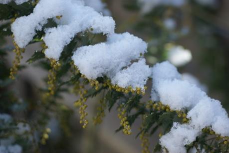 雪化粧のミモザ