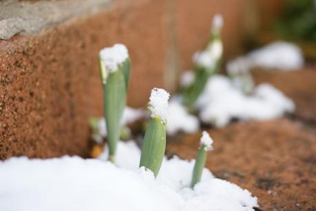 雪をかぶった球根の芽