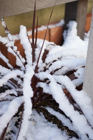 雪化粧のコルジリネ