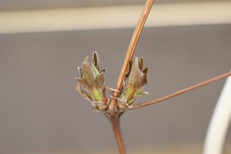クレマチスの新芽