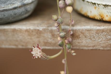 斑入りネックレスの開花