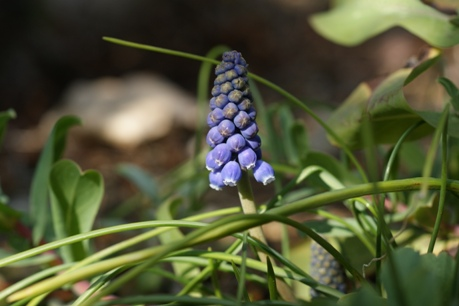 植えっぱなしのムスカリ