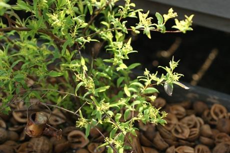 八重咲きコデマリの蕾