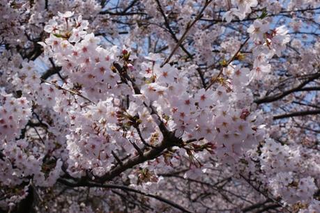 目黒川沿いの桜②