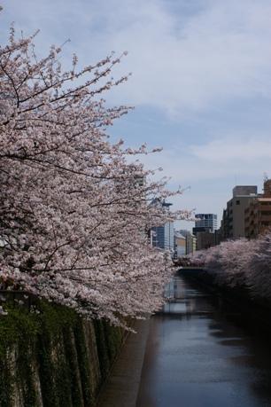 目黒川沿いの桜④