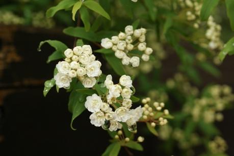 八重咲きコデマリの開花