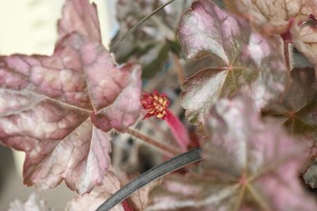 ヒューケラの花芽