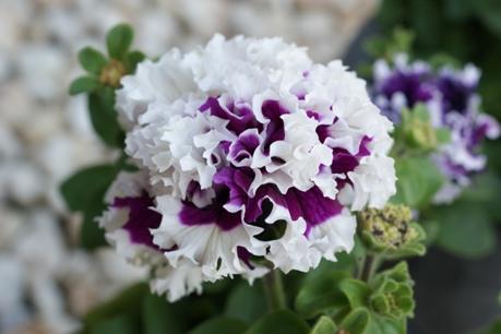 フリンジ咲きのペチュニア<紫>