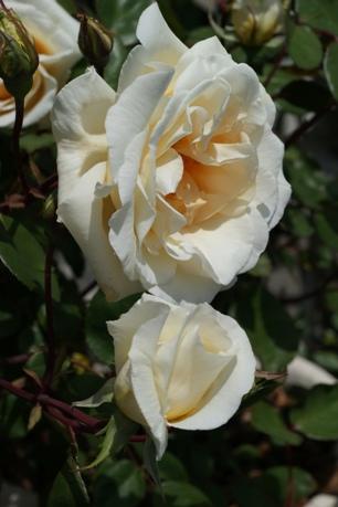 レディヒリンドン開花