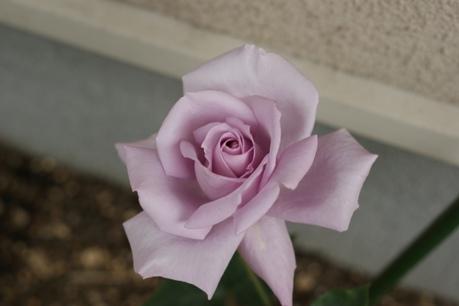 ブルームーン 開花