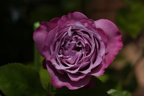 ブルー・リバー 開花