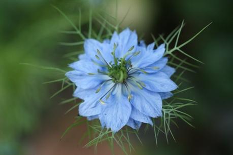 こぼれ種のニゲラ 開花