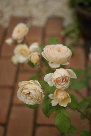 まだまだ綺麗なひ~ちゃんのバラ