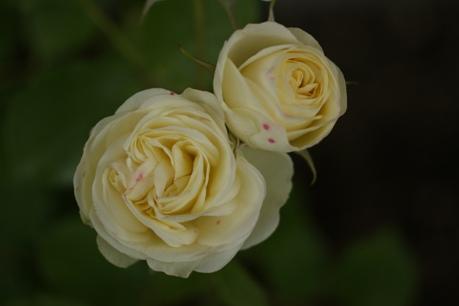 クリーミーエデン 開花