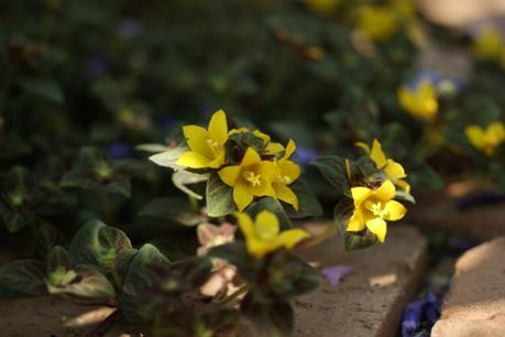 リシマキアの花