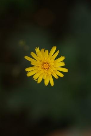 ヒエラキウム<チョコレートディップ>の花