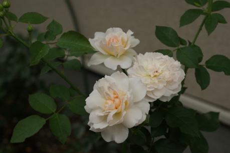メアリー・マグダリン 2番花