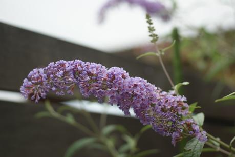 ブッドレアも次々開花♪