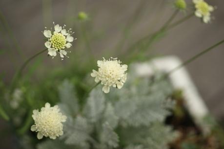 スカビオサ たくさん咲いてます♪