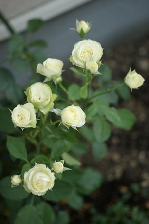 クリーミーエデン 2番花
