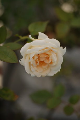 レディヒリンドン 2番花