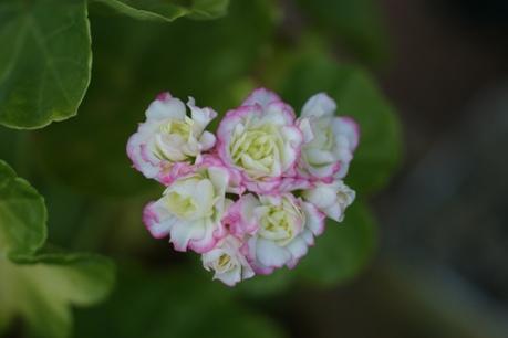 八重咲きゼラニウム<キャンディボール>