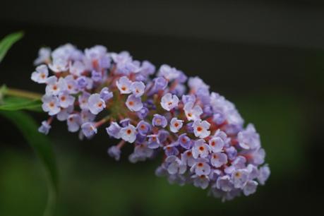 咲き続けるブッドレア