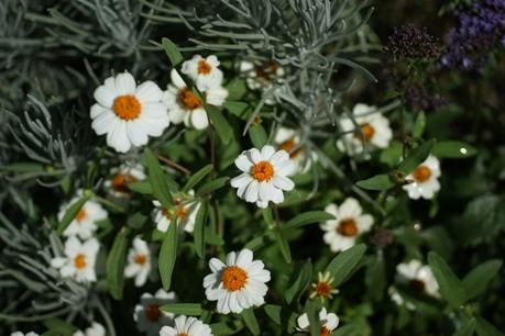 ジニアも花がいっぱい♪