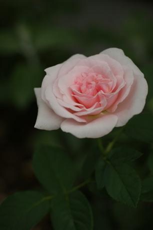 ライラックローズ 2番花
