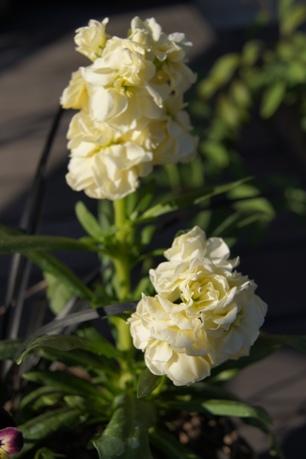 クリーム色の八重咲きストック