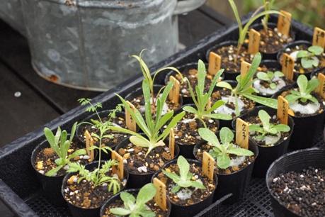 成長する種蒔き苗たち
