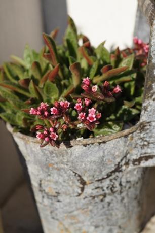クーペリーもまだ開花中!