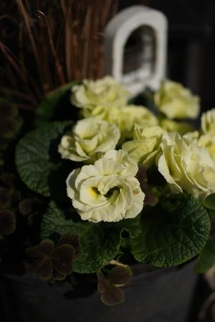 バラ咲きジュリアン<マスカットのジュレ>