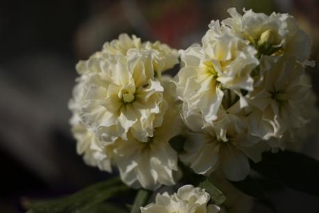 八重咲きストック