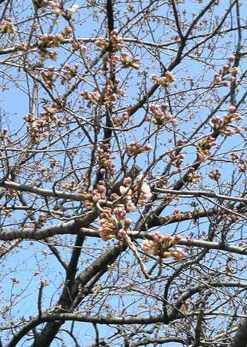 道満公園の桜 now