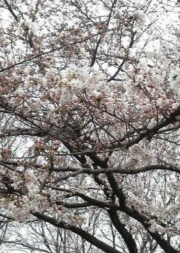 別所沼公園の桜 now