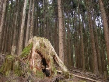 過去にはこんな巨木が!
