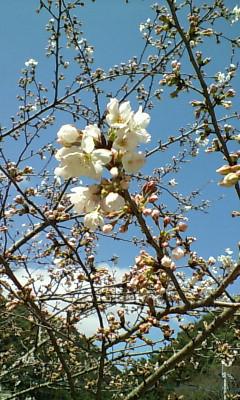 里の桜2010