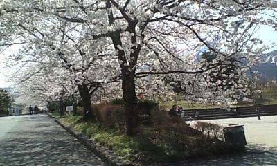 花畑園芸公園の桜