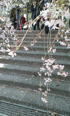 花畑園芸公園のしだれ桜