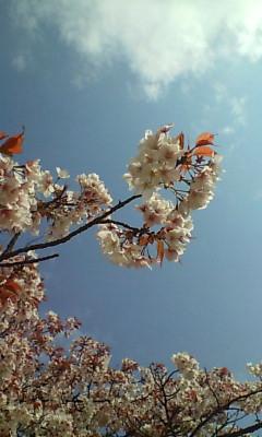 高宮の公園の桜