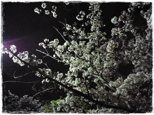 夜桜*2013